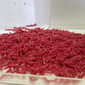 larva fifisess